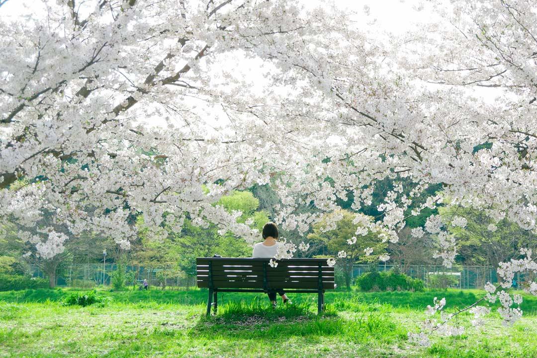 Цветение сакуры весной в Одессе